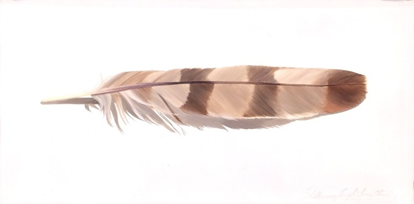 Coopers Hawk Feather